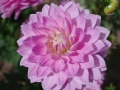 lotus-joy